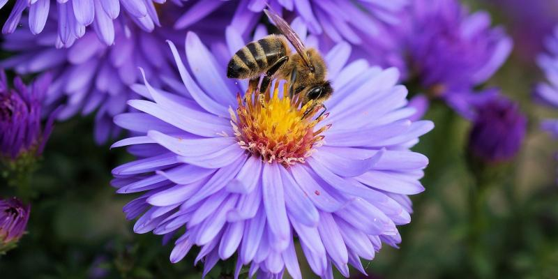 bee-on-purple-flower.jpg