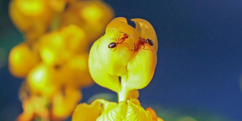 fire-ants-on-yellow-flower
