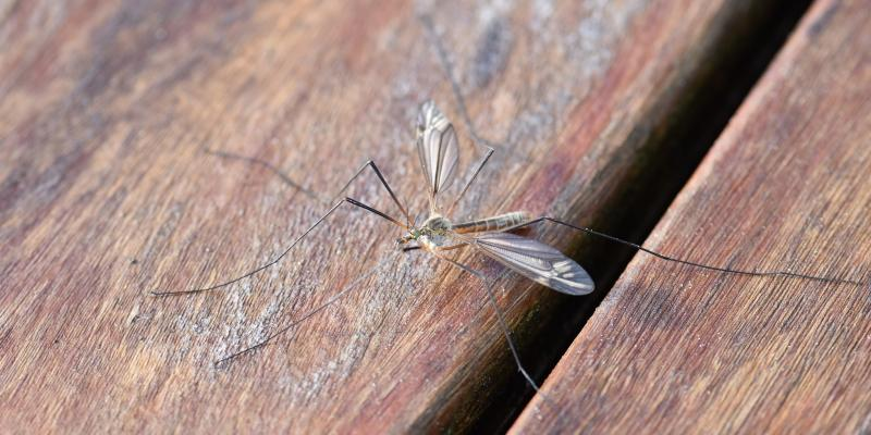 mosquito-on-wood